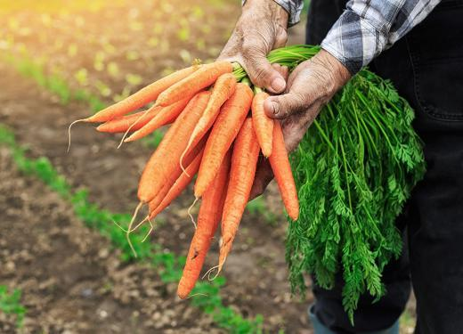 Farmer with soiled hands holding a bunch of freshly rooted carrots in his field