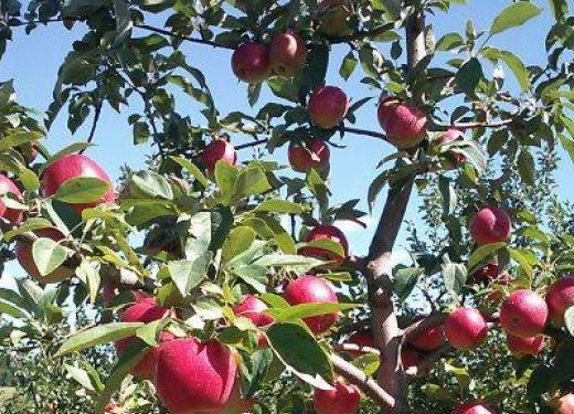A Fireside Orchards Apple Tree full of crisp, juicy apples ready for picking