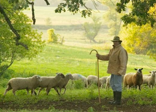 Steven Read of Shepherd's Way Farm holding a shepherd's staff amongst a flock of his sheep