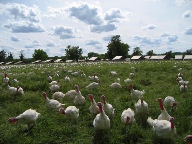 Free-Range Turkeys from Ferdale Market Turkey Farm