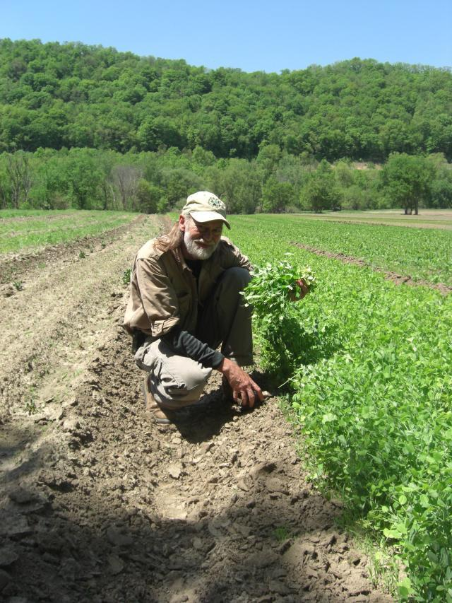 Richard of Harmony Valley Farm kneeling in his field holding up some pea vine